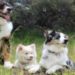 Mendelsche Regeln, 3 Hunde auf einer Wiese