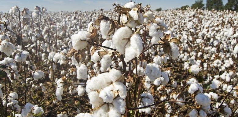 Baumwolle als Beispiel für Hybridzusammenbruch