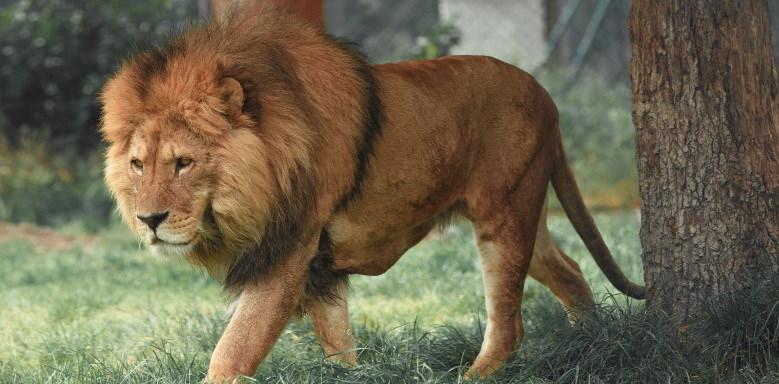 Löwe als Elternteil eines Ligers