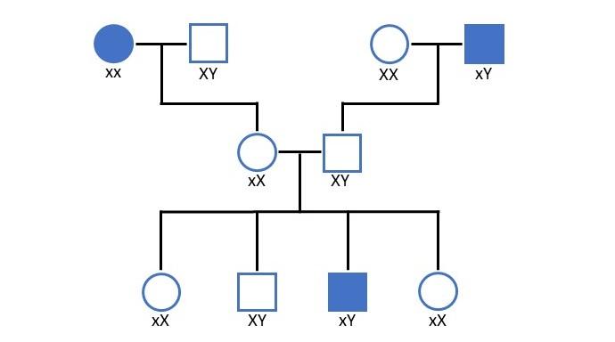 gonosomal rezessiver Erbgang in einer Stammbaumanalyse