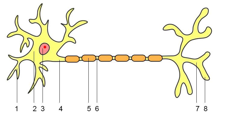 Aufbau der Nervenzelle