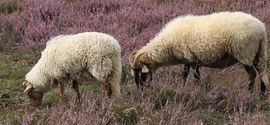 Ein Beispiel für Weidegänger sind Schafe
