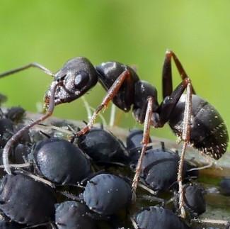Ameisen beschützen Blattläuse in einer symbiotischen Beziehung