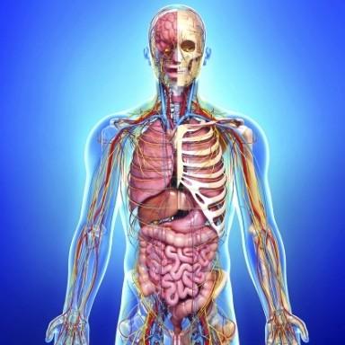 Wenn mehrere Organe zusammen eine Funktion erfüllen, spricht man von Organsystemen