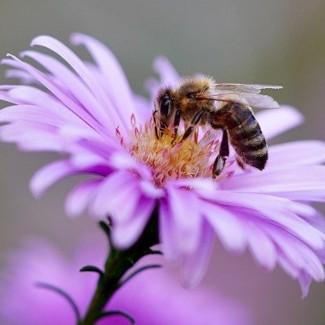 Symbiose zwischen Bienen und Blütenpflanzen