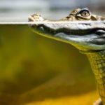Reptilien Krokodil unter Wasser