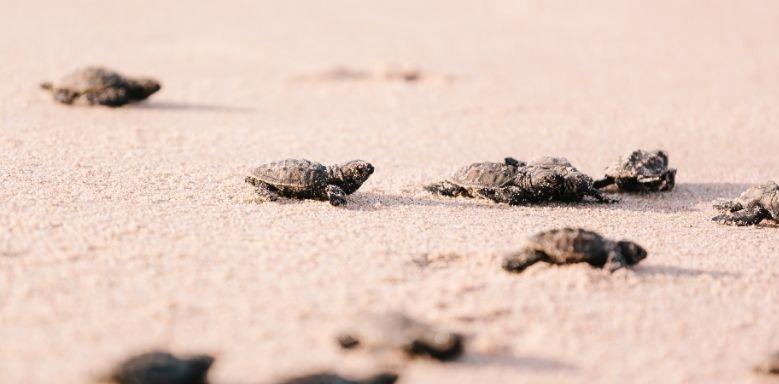 Schildkröten schlüpfen