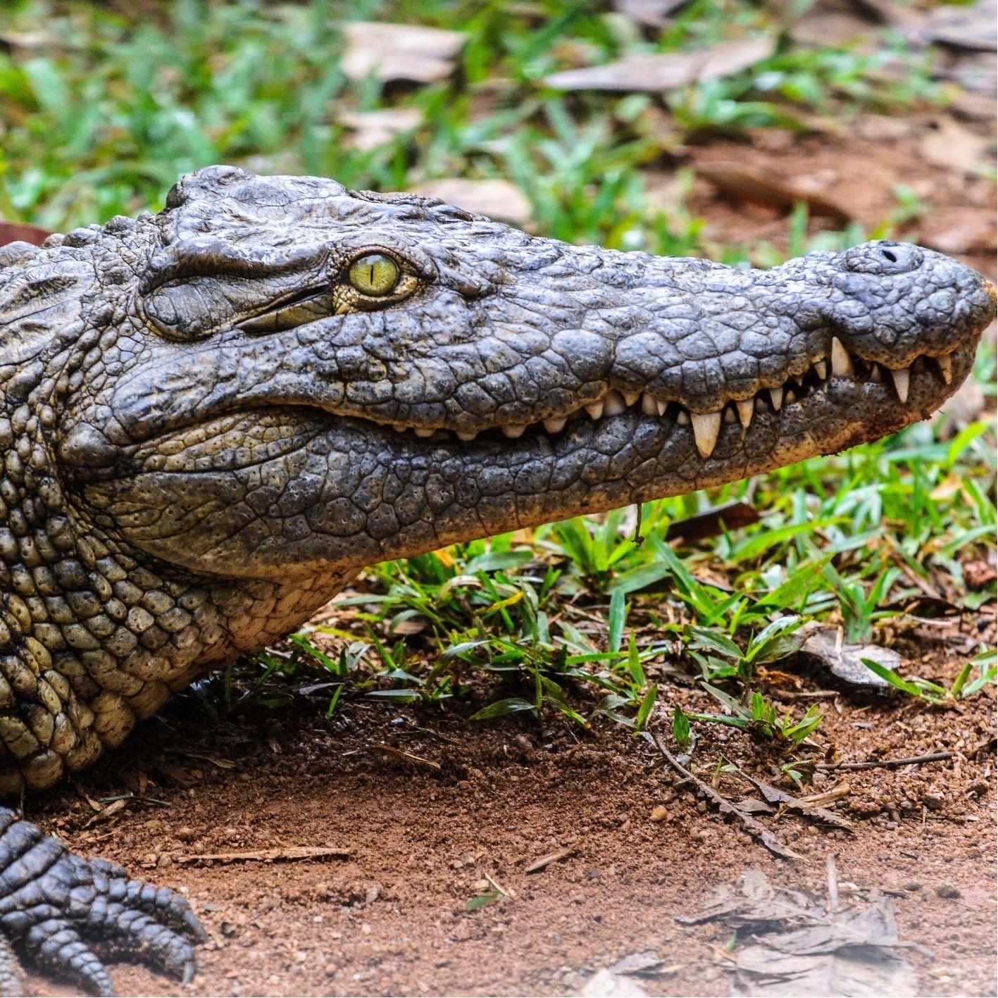 Krokodil Steckbrief