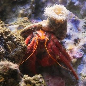 Mutualismus zwischen Einsiedlerkrebs und Seeanemone