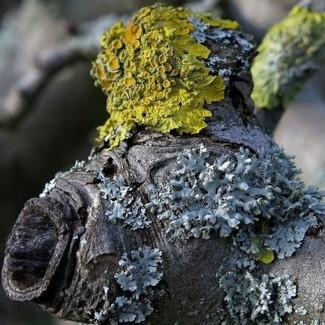 Flechten sind eine Exobiose zwischen Pilzen und Algen