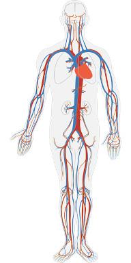 Das Herzkreislaufsystem versorgt den ganzen Körper mit Blut