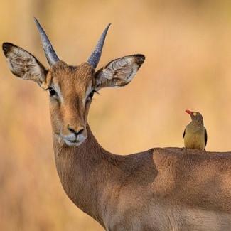 Protokooperation zwischen Madenhackern und Wildtieren als Putzsymbiose
