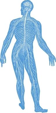 Das Nervensystem wird vom Gehirn gesteuert, die Nerven am ganzen Körper reagieren auf Reize