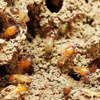 Im inneren von Termiten leben endosymbiotische Geißeltierchen