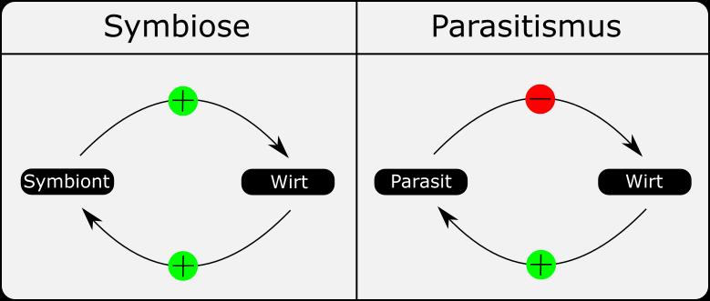 Vergleich Parasitismus Symbiose. Vorteil für beide bei der Symbiose, Nachteil für den Wirt beim Parasitismus