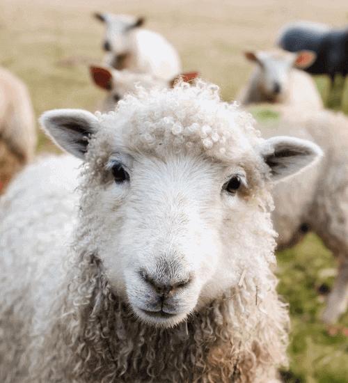 Berufe mit Tieren Schafe