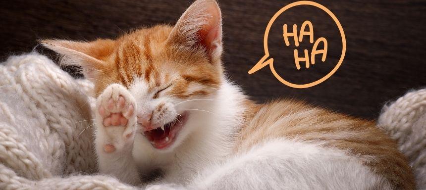 eine weiß rote Katze lacht